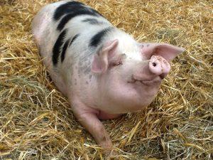 Bunte Bentheimer Landschweine