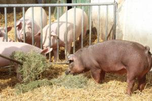 Unsere NEULAND-Schweine